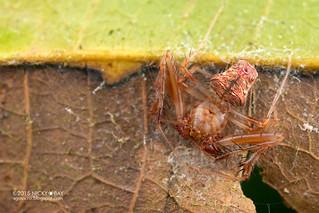 Orb weaver spider (Verrucosa sp.) - DSC_3743