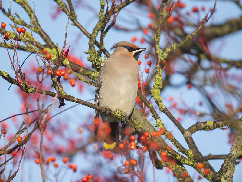 Waxwings, Everton, 28th December 2016