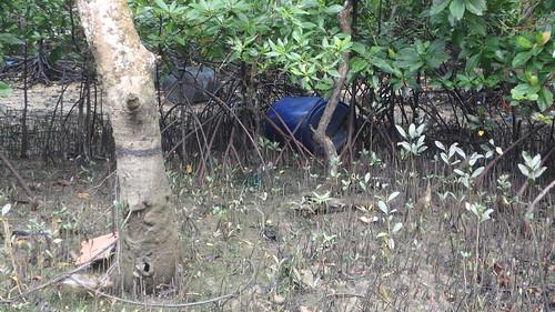 Area near Bakau mata buaya (Bruguiera hainesii) NOT trashy!