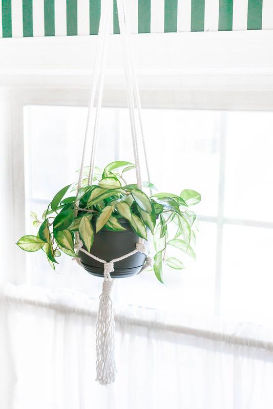 vine plant in macrame hanging basket