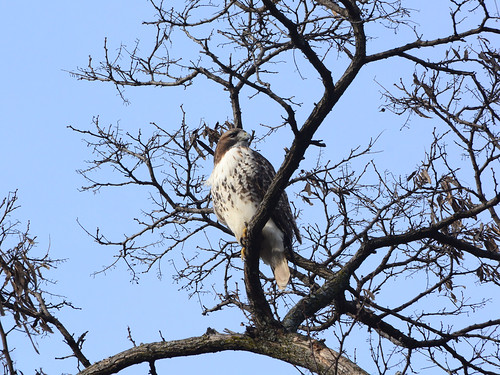 Riverside Red-Tail - 0987