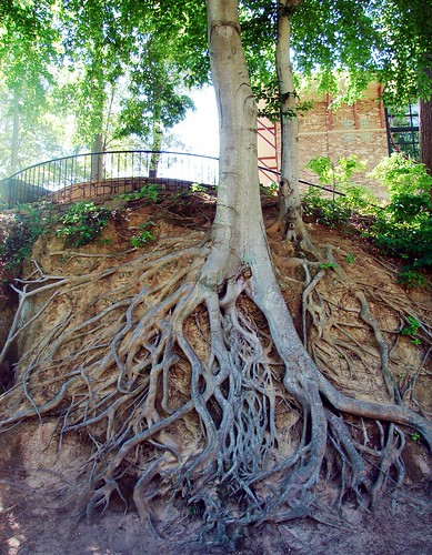 Exposed gnarly roots in Fall River Park | by Martin LaBar (going on hiatus)