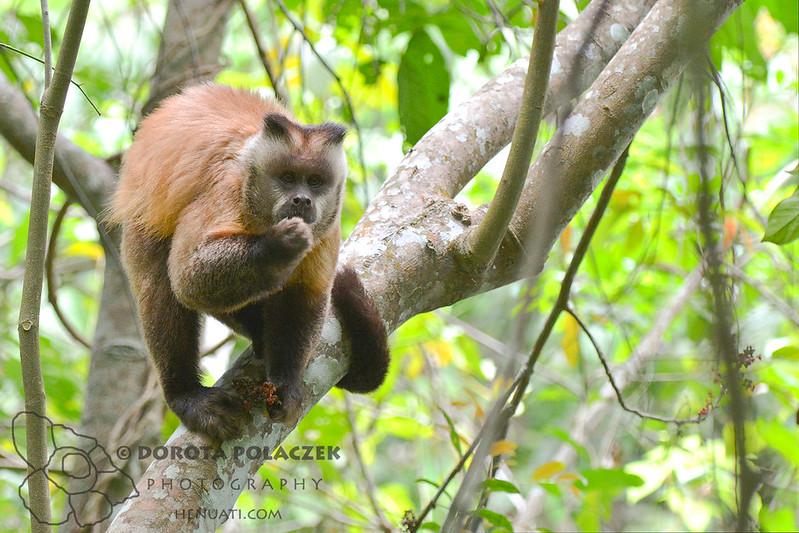 Black-striped tufted capuchin (Cebus libidinosus)