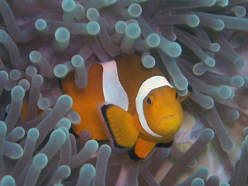 Clown Fish | by gwylow71
