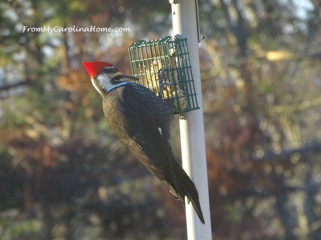 December Pileated Woodpecker 1