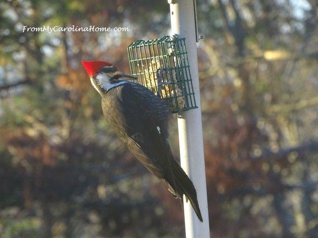 December Pileated Woodpecker 1