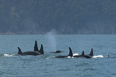 Orcas (Killer Whales) Sleeping | by LivingWilderness.com