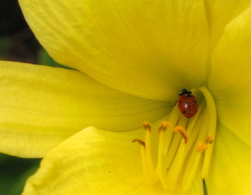 Daylily friend
