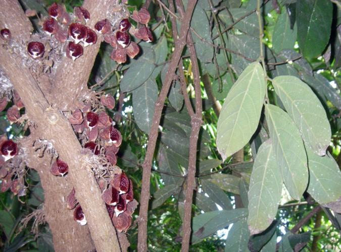 Aristolochia arborea 31904844731_725398ae1f_o