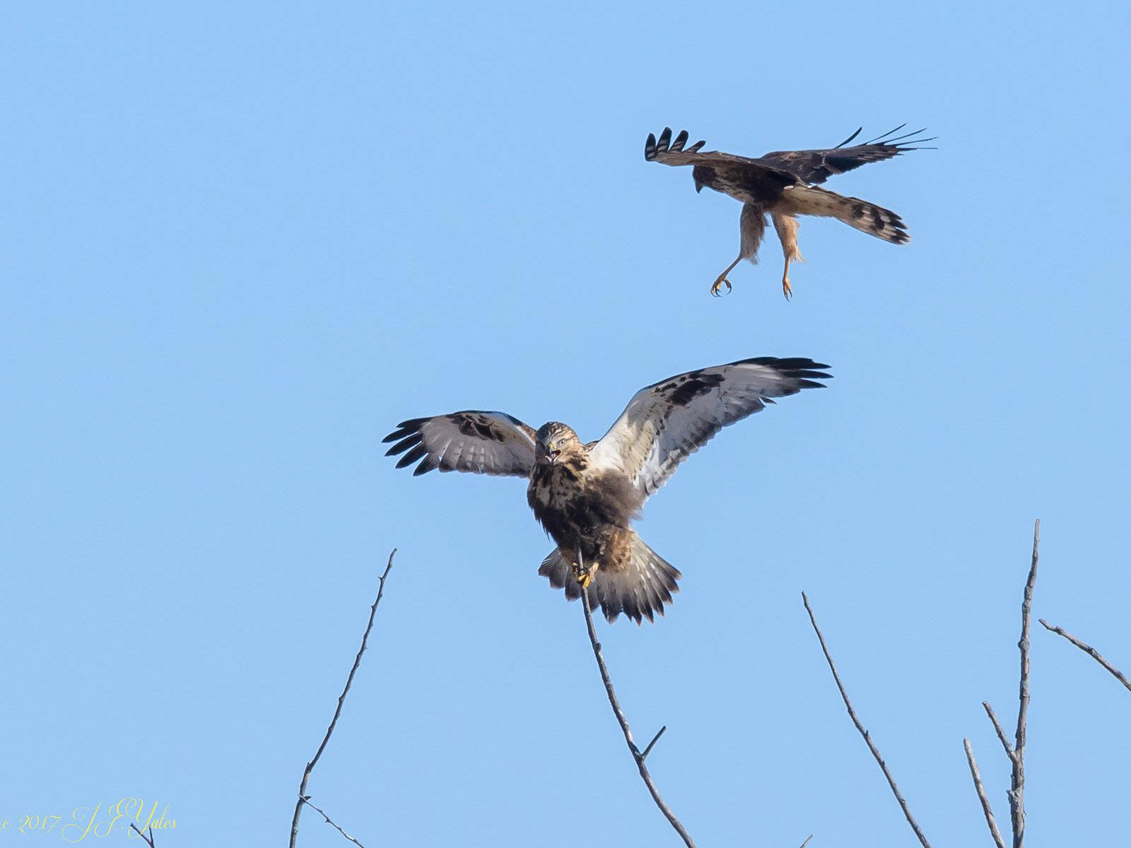 Northern Harrier harrassing Rough legged hawk
