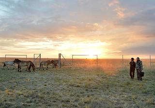 Putin pušta Przevalski konje na slobodu