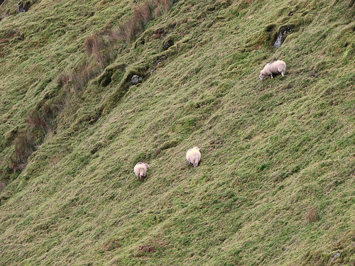 Welsh sheep grazing