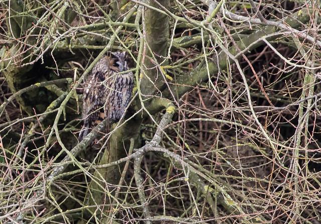 long-eared owl 077__162