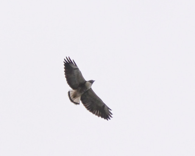 White-tailed Hawk - 2