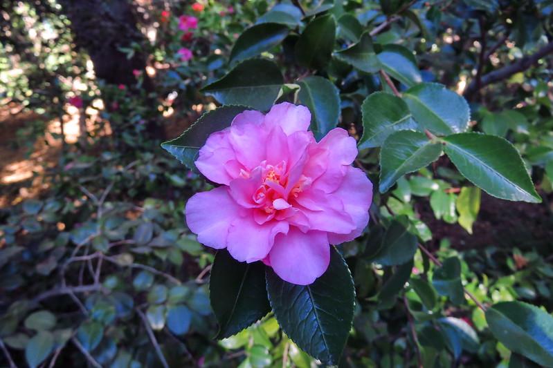 Camellia sp., La Canada, Descanso, 2016.12.20 (05)