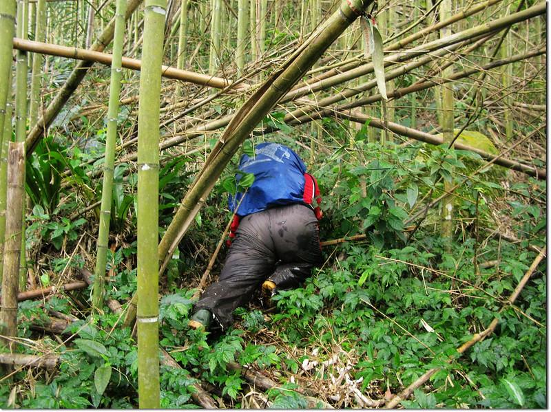 倒竹橫陳的拉號山登山步道 4