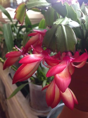 Thanksgiving cactus (Schlumbergera truncata) Samba Brazil