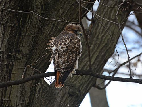 Riverside Red-tail - 0949