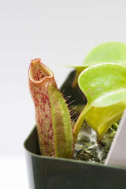 Nepenthes robcantleyi BE TC