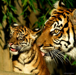 *** Love *** - Soyono and a Cub @ Washington DC / US National Zoo | by Nikographer [Jon]