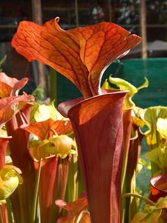 Sarracenia flava var. atropurpurea 'FRT 1-1'