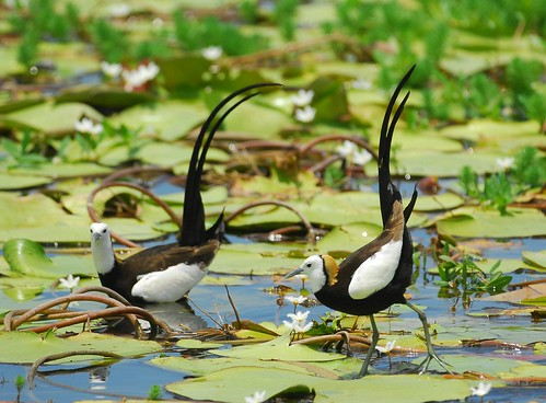已經配對的水雉 A paired Pheasant-tailed Jacanas | by Changhua Coast Conservation Action