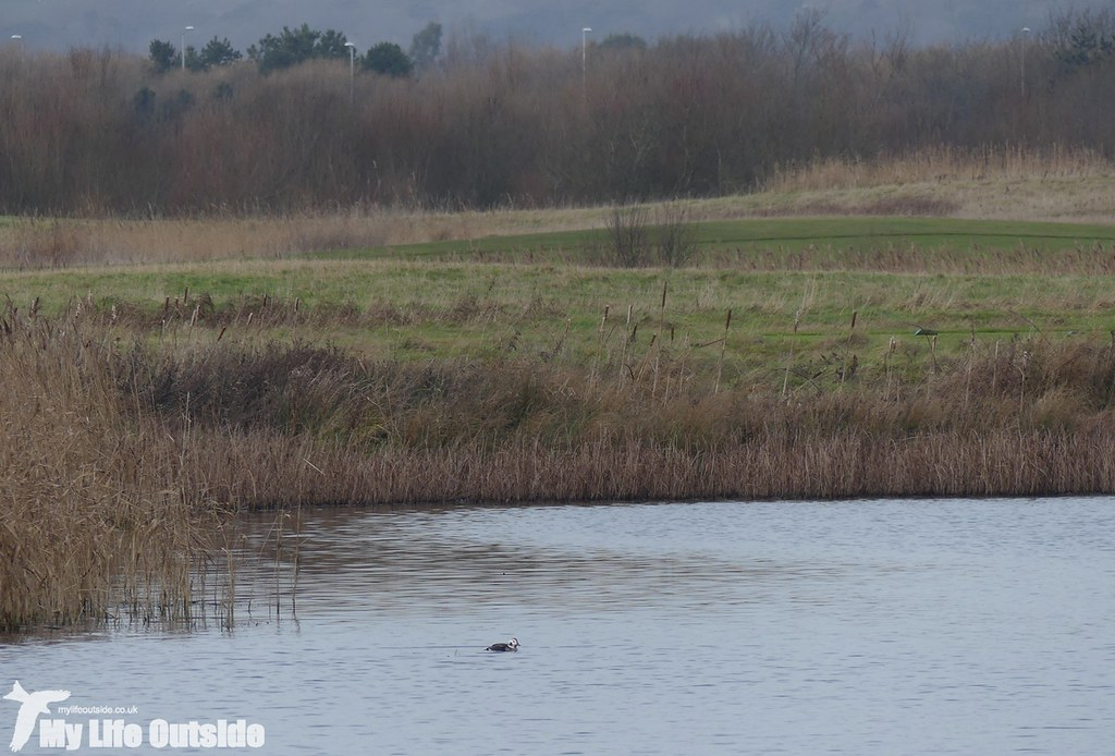 P1060173 - Long-tailed Duck, Machynys