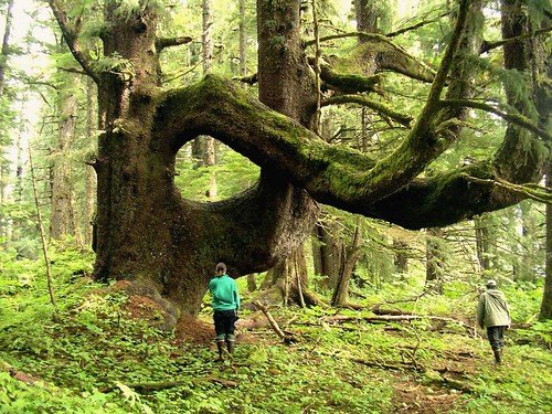 Large Tree, Southeast Alaska