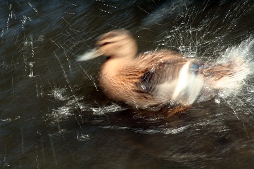 Splashy duck | by Ruth and Dave