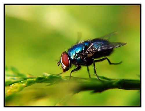 Blue Fly in Flight | by David Reece