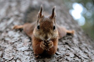 Squirrel | by siilikala