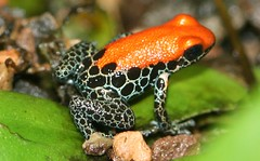 Red-backed poison dart frog | by andreasgraemiger
