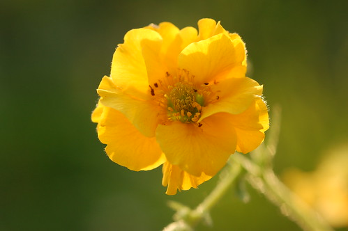 Geum chiloense 'Lady Stratheden' | by The Super Tomate