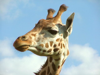 Giraffe Portrait - Woburn Safari Park - Monday August 27th 2007 | by law_keven