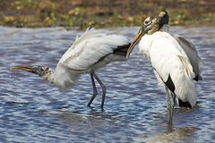 Wood Storks | by USFWS/Southeast