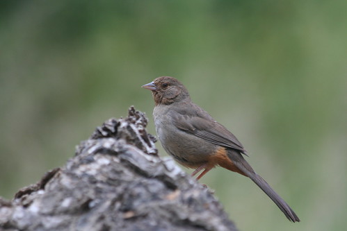 California Towhee-IMG_0309-Alum Rock | by gimlack
