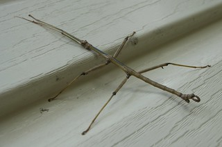 stick bug on our wall | by yumievriwan