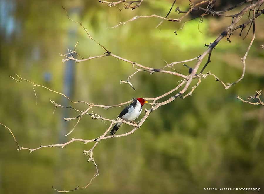 Cardenilla / Yellow-billed Cardinal