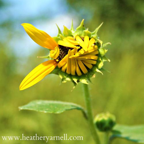 Peace Sign Sunflower