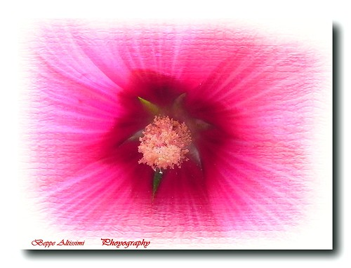 In tha heart of petunia | by Beppe Altissimi