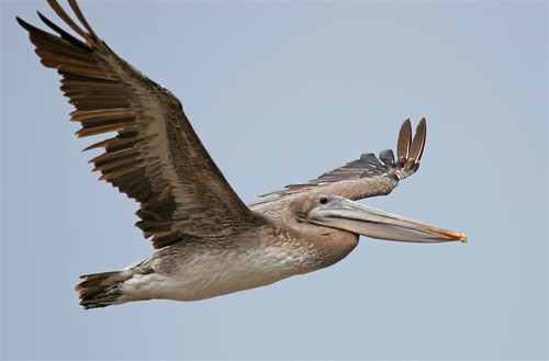 Brown Pelican flying bird IMG_9861 (Medium) | by mikebaird