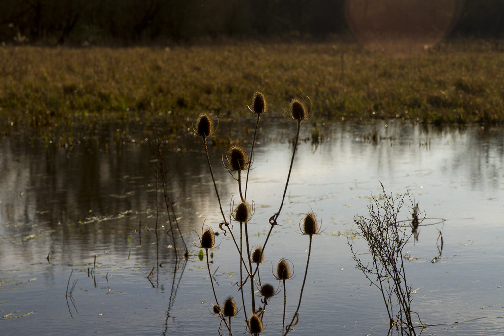 Teasels in the winter sun