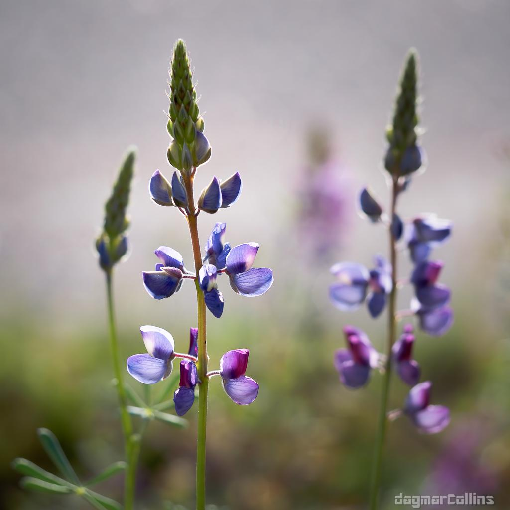 Lupinus albifrons, Silver Bush Lupine