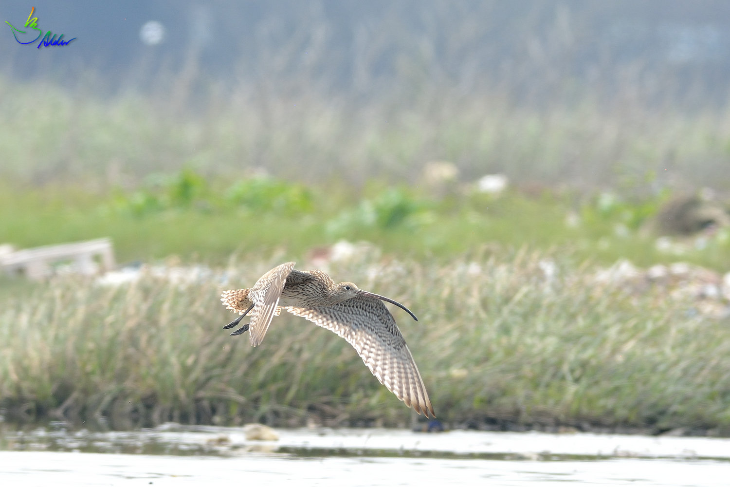 Far_Eastern_Curlew_2387