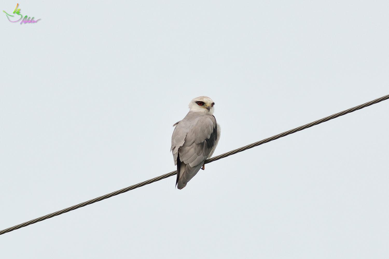 Black-shouldered_Kite_3811