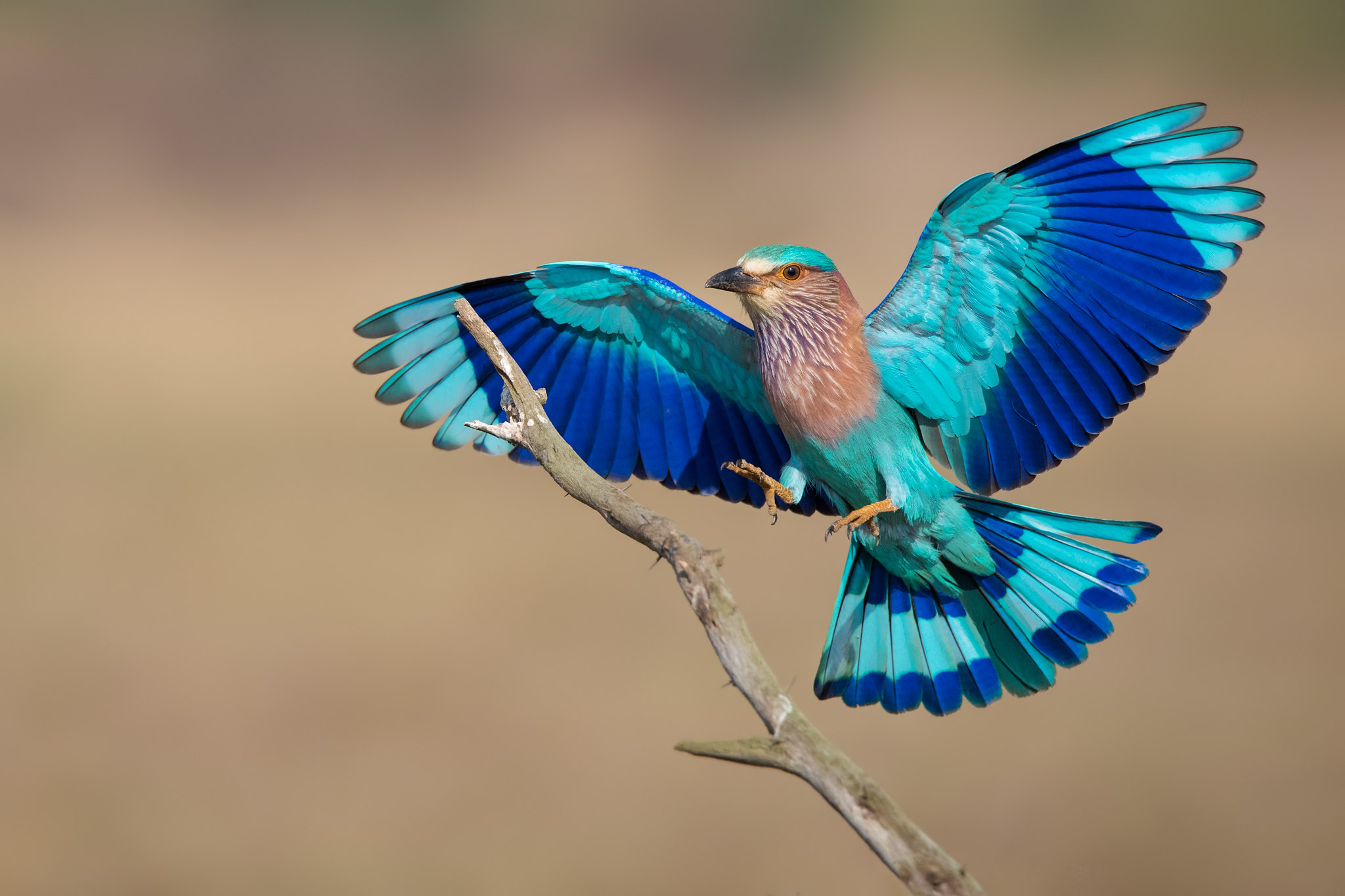 The Indian Roller Rebrn Com