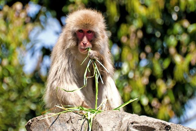 Japanese Monkey Eating : 食事中のニホンザル