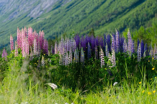 A group of Lupines