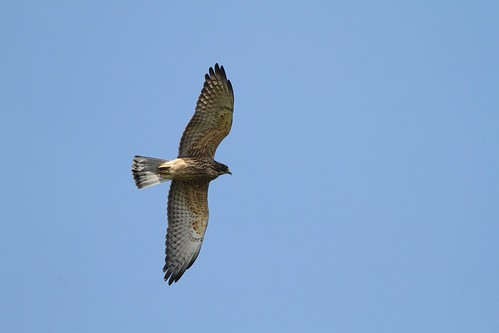 2016 Free Buzzard in Mt.Bagua