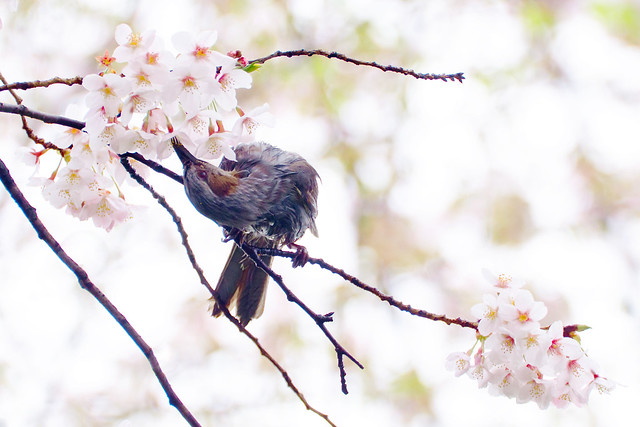 Cherry Blossoms and Brown-eared Bulbul : 桜とヒヨドリ